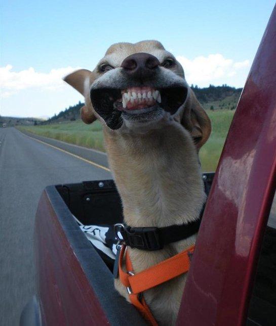 dog fast wind car
