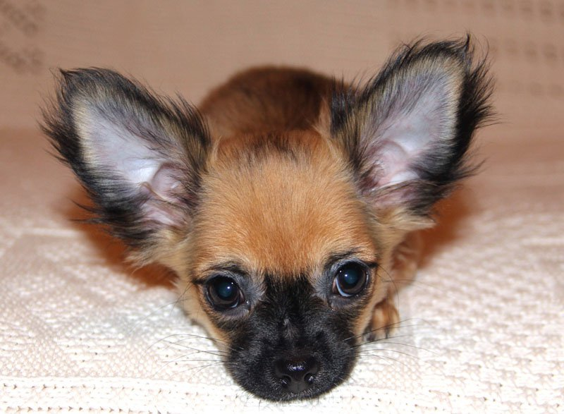 chihuahua-cute-dog-face
