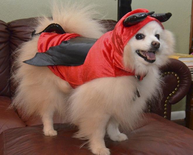 devil-mel-pomeranian-halloween-costume