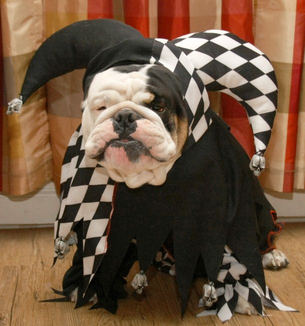 english-bulldog-halloween-joker