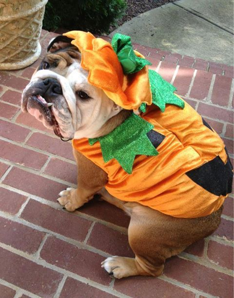 english-bulldog-halloween-pumpkin
