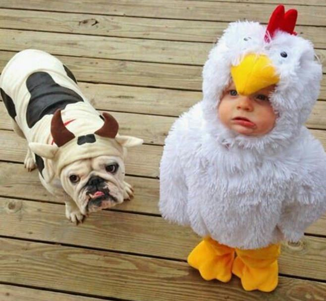 english-bulldog-halloween-cow-costume