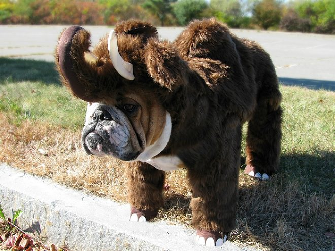 english-bulldog-halloween-mammoth