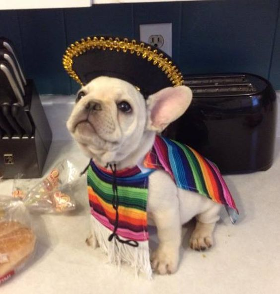 french-bulldog-halloween-ready