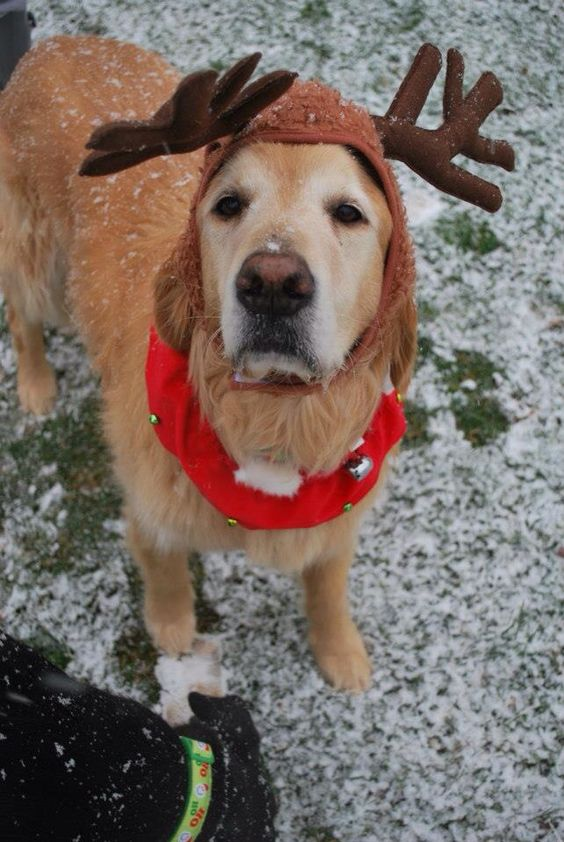 golden-retriever-reindeer-costume