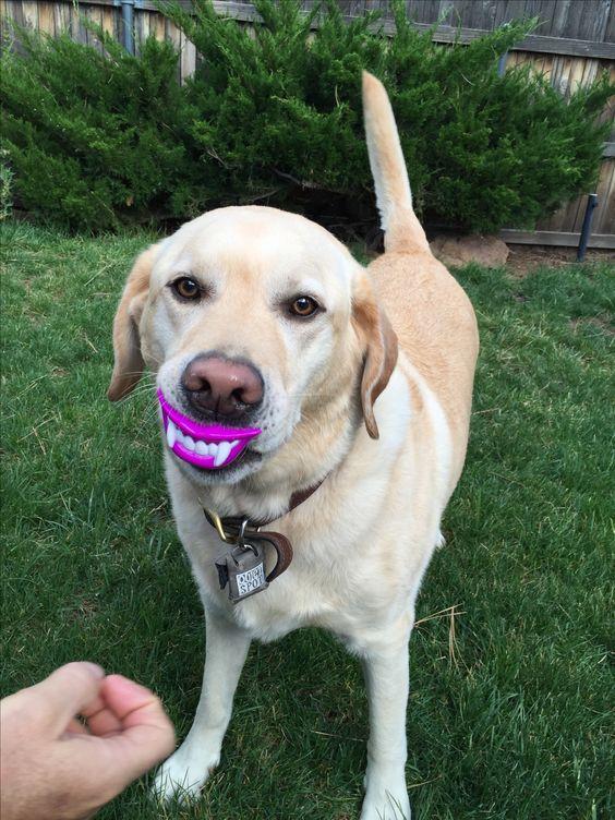 halloween-labrador-teeth