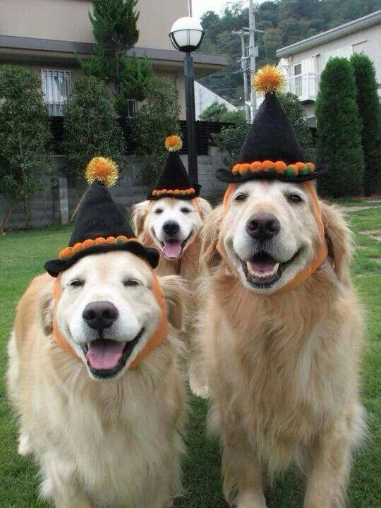 happy-halloween-golden-retrievers