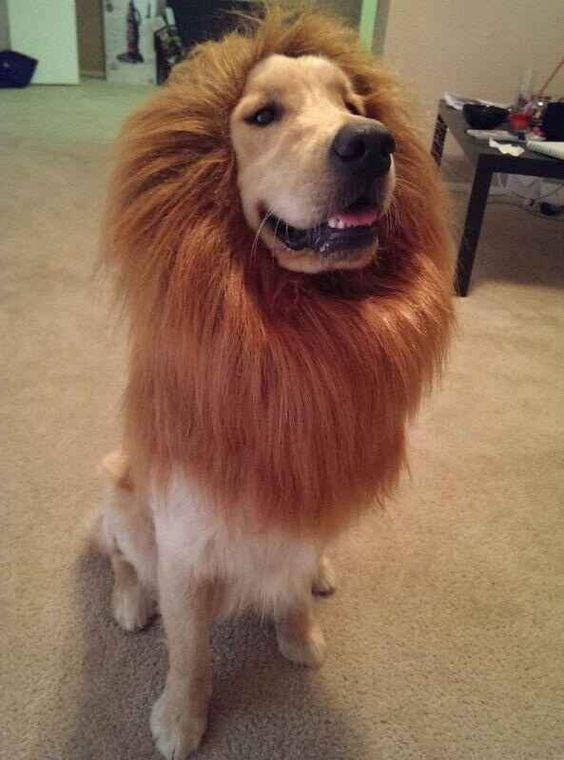 lion-king-golden-retriever