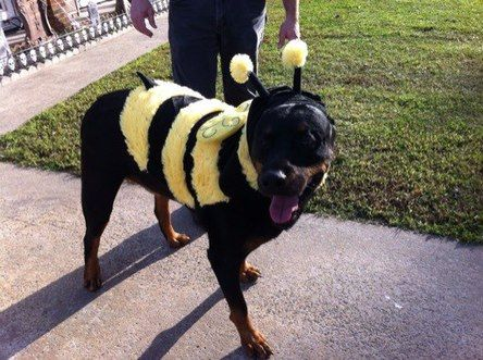 rottweiler-bumble-bee-dog-costume