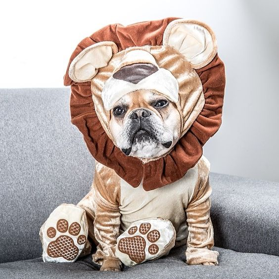 soooo-cute-french-bulldog-costume