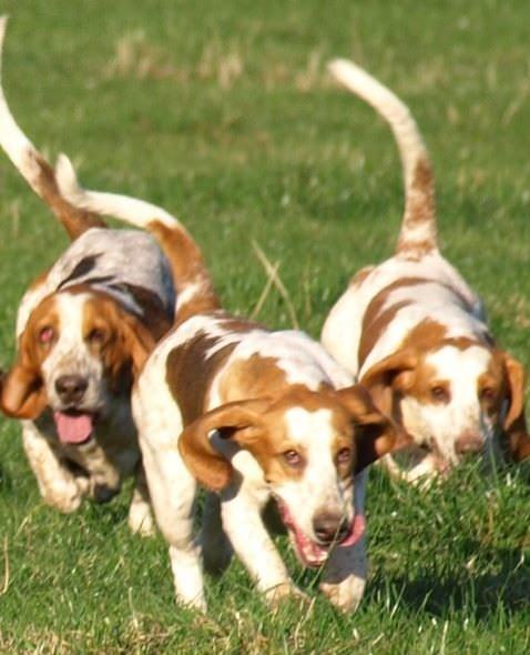 basset-hunting-dogs