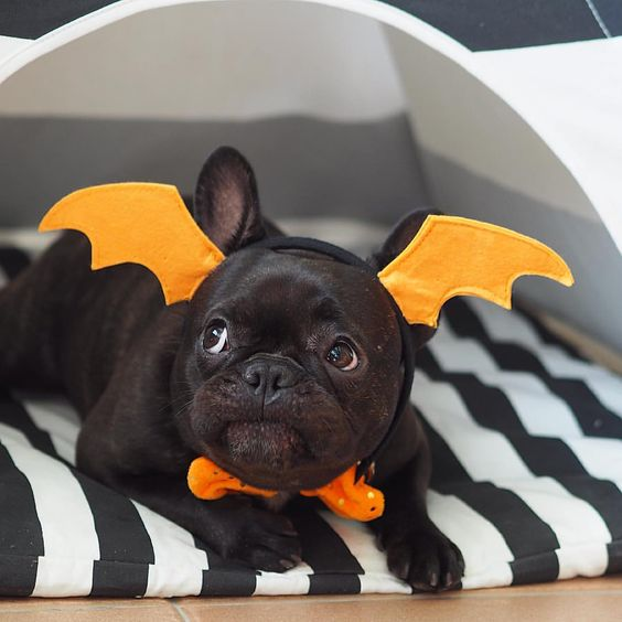 bat-french-bulldog-dog