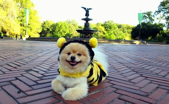 bee-pomeranian-halloween-costume
