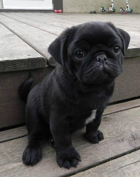 pics of pug puppies 15 of the cutest pug puppies to brighten your day 15 7870