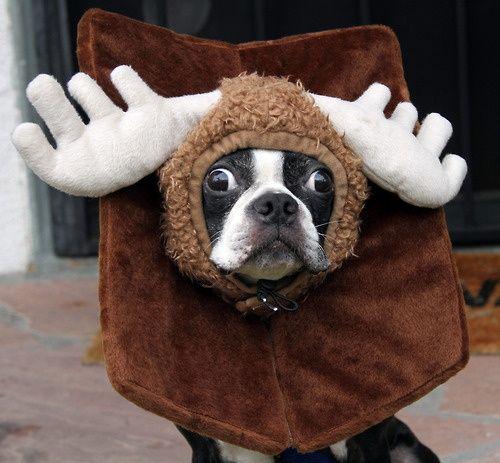boston-terrier-halloween-costume-moose