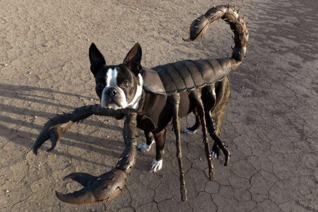 boston-terrier-halloween-costume-scorpion
