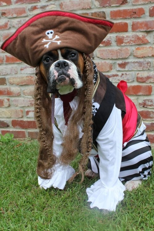 boxer-pirate-costume & 12 Costumes That Prove Boxer Dogs Always Win At Halloween