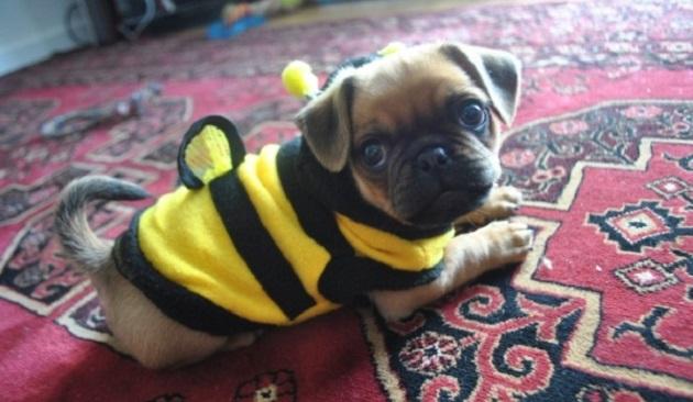 buzz-cute-pug