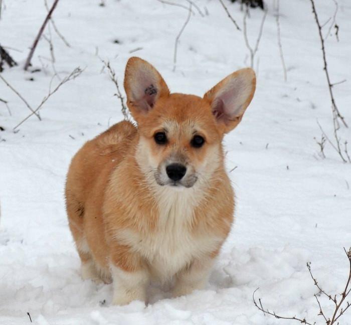 corgi-in-snow