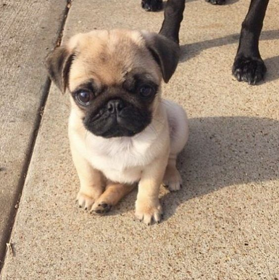 15 Of The Cutest Pug Puppies To Brighten Your Day 15