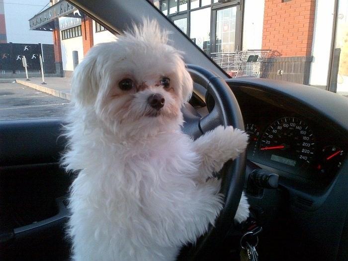 cute-white-dog-driving-car