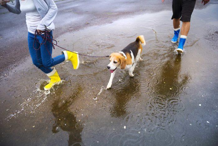 dog-rain