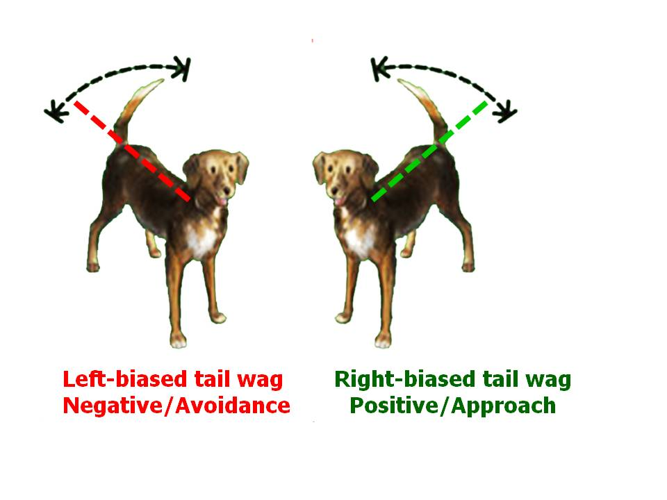 dogs-wagging-tail-signs