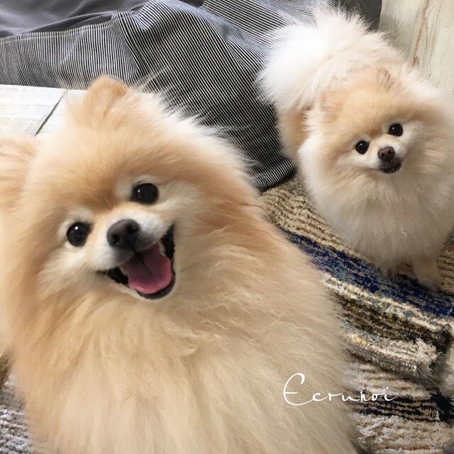 fluffy-pomeranians