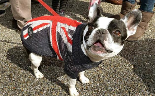 french-bulldog-british-flag