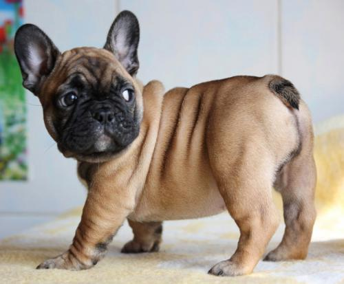 Stop French Bulldog from Biting Feet with These 6 Tips 13