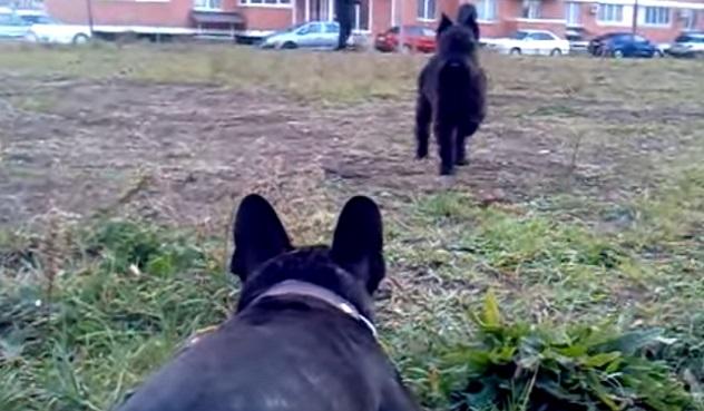 french-bulldog-schnauzer-dogs-play