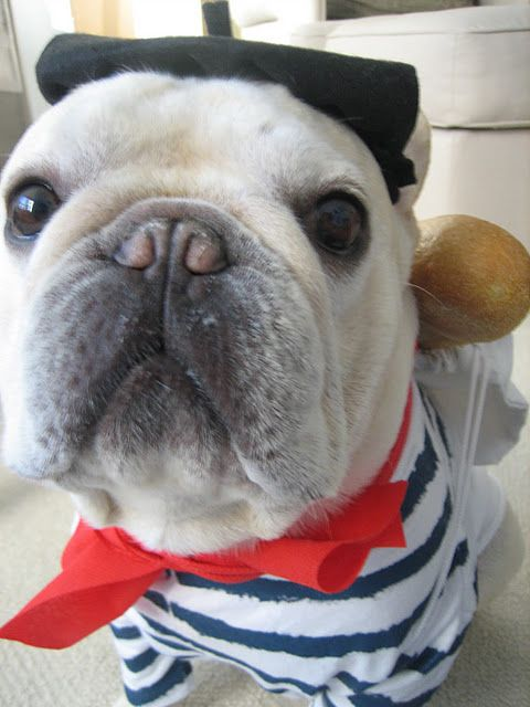 french bulldog dressed up 12 costumes that prove french bulldogs always win at halloween 7732