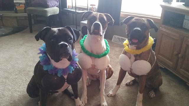 funny-boxer-dogs-costumes