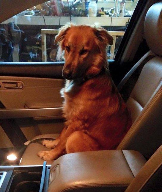 golden-dog-in-car