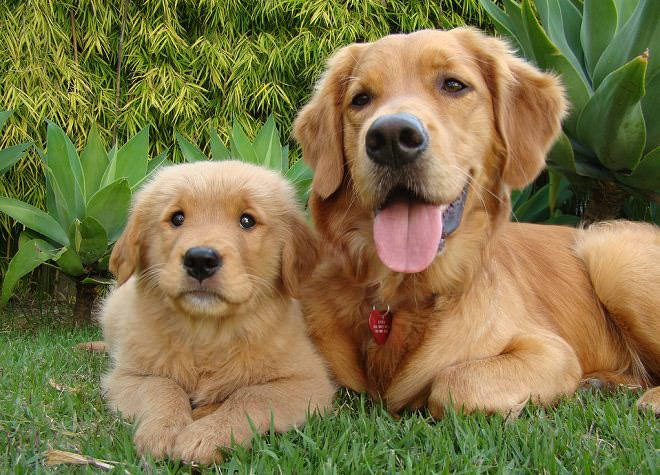 golden-retriever-mother-and-pup