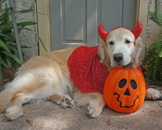 golden-retriever-tired-halloween