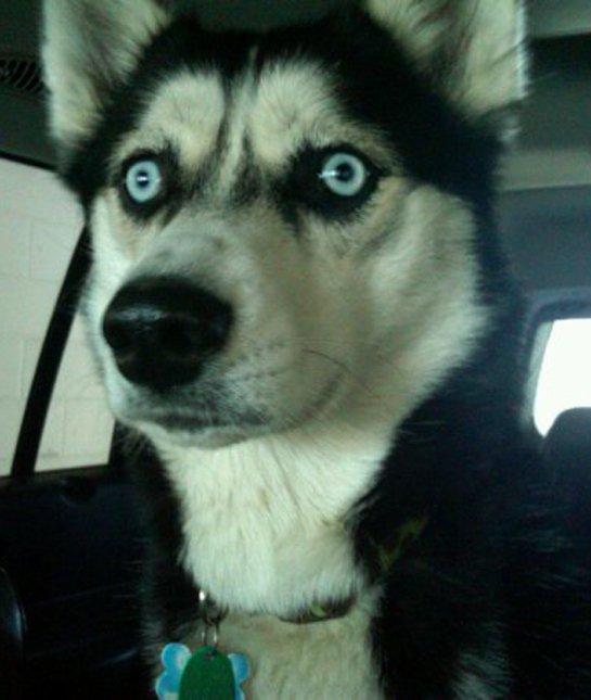 husky-staring-in-car