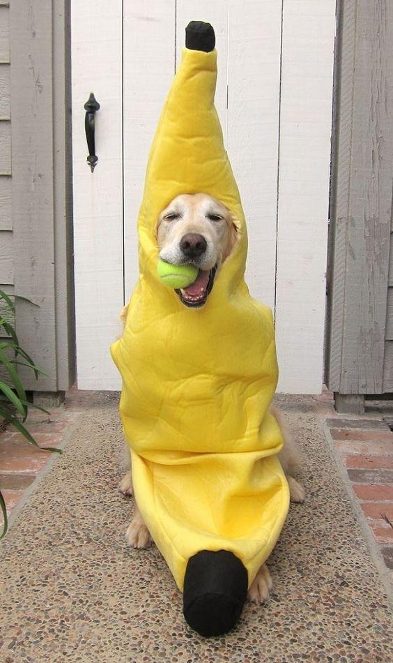 labrador-banana-dog