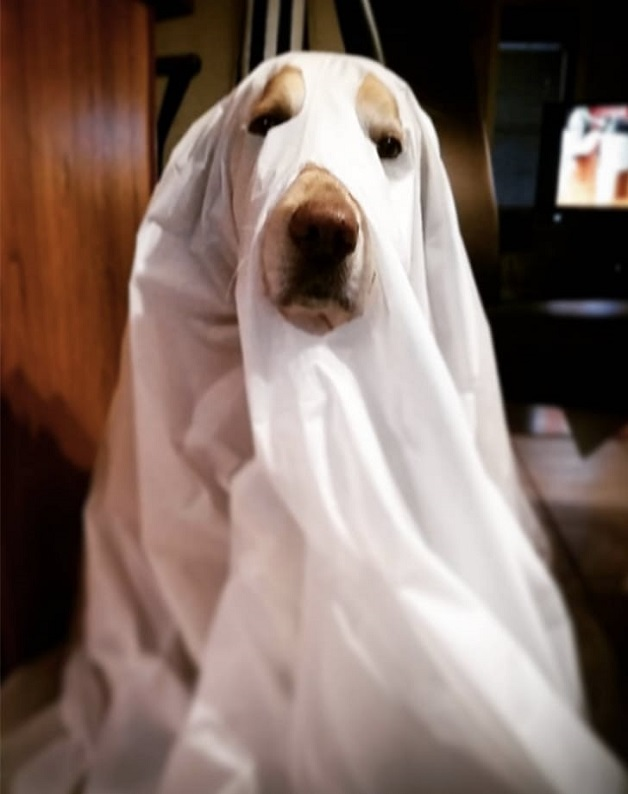 17 best labrador halloween costume ideas a ghost publicscrutiny Images
