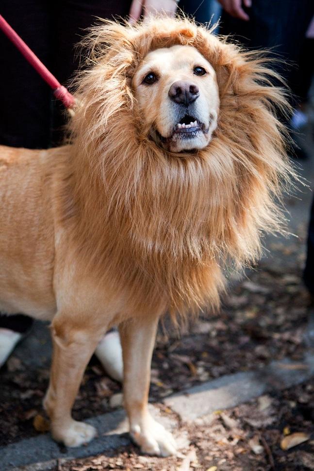 labrador-lion-dog-face