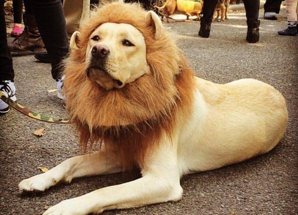 labrador-lion-dog