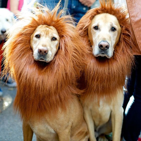 labradors-lions-funny-dogs
