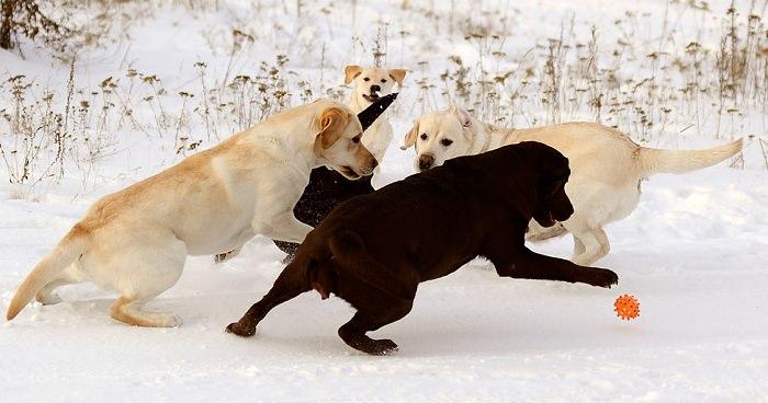 labradors-playing