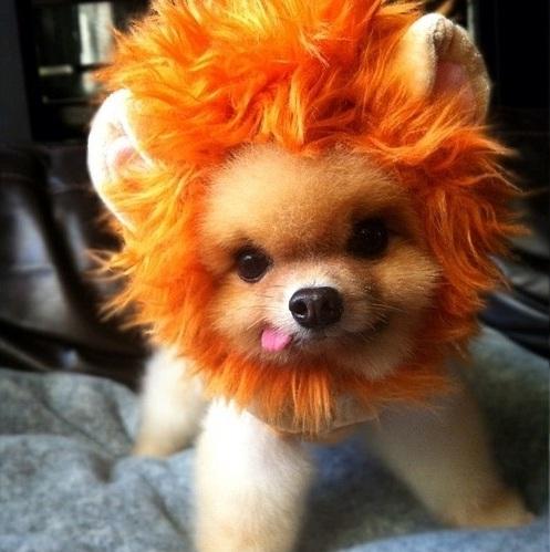 lion-pomeranian-halloween-costume