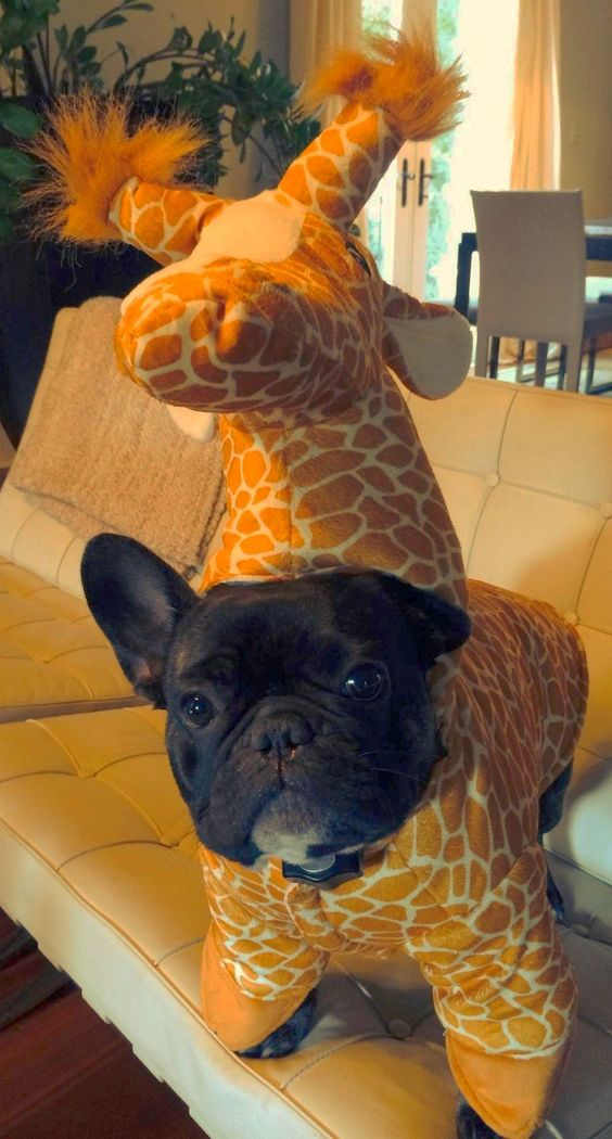 majestic-giraffe-french-bulldog