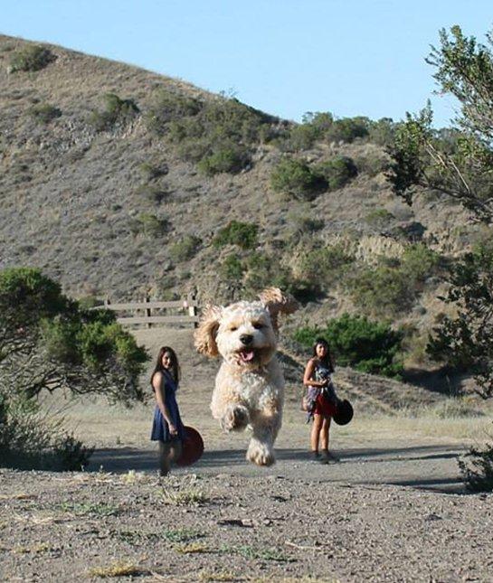 optical-illusion-giant-dog-poodle