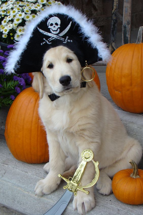pirate-halloween-costume-golden-retriever