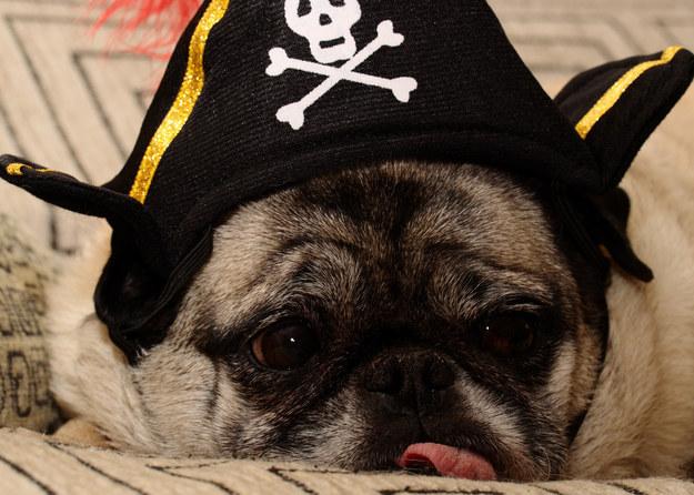pirate-pug