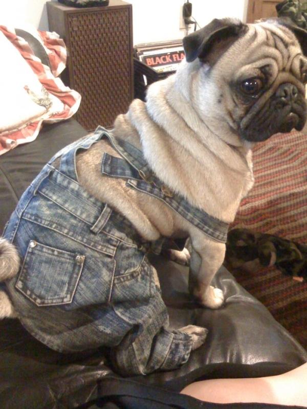 pug-jeans