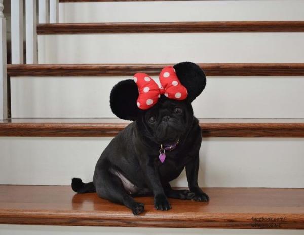 pug-mouse-hybrid
